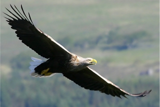 mull-eagle-watch.png (1)