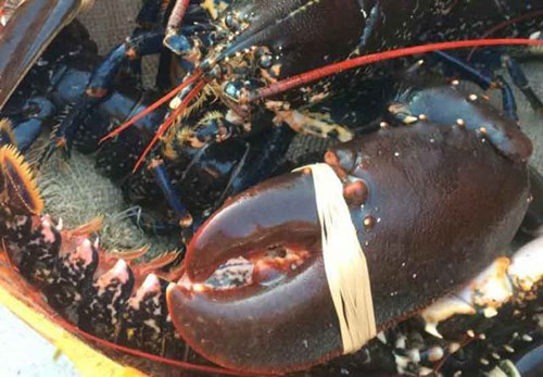Tiree Lobster